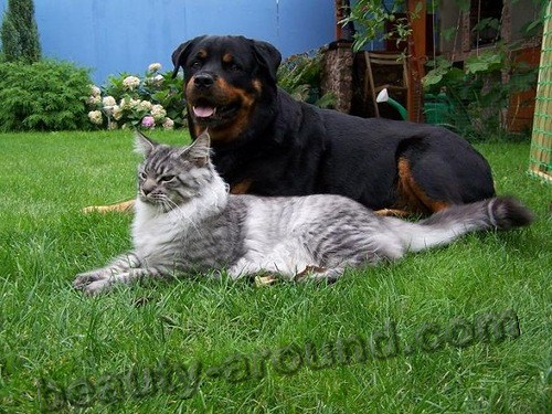 Maine Coon Cat and Rottweiler. Note the relative size!