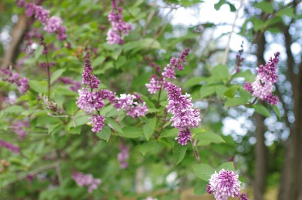 the korean lilac is in bloom