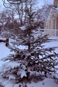 WinterBluSpruce