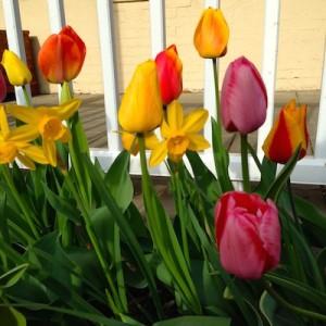 Morning tulips2