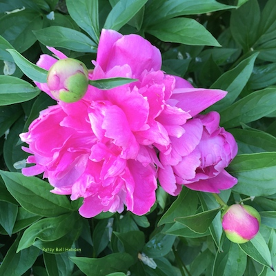 I have hundreds of this bright pink peony.