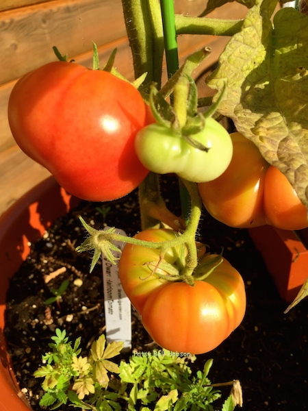 New Big Dwarf heirloom tomato. The heaviest producer of full size tomatoes so far.