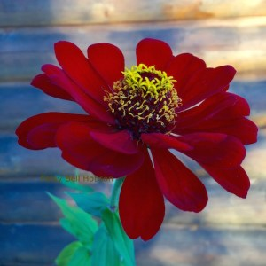 Velvety red Zinnia