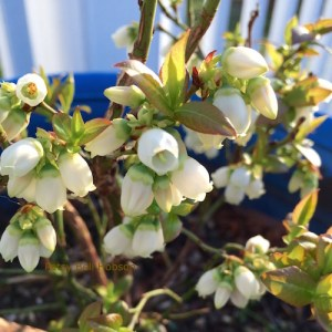 Blueberries blooming in containers on the deck.