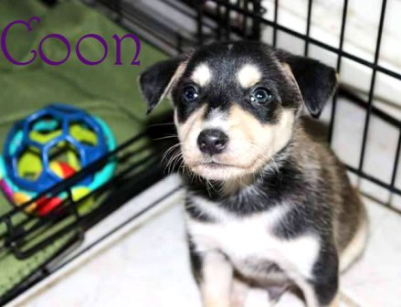 ADOPTED!! Coon and five siblings were saved from the Aiken County Animal Shelter. They came to us, tiny, infested with worms, and very shy towards people. They have now had 2 rounds of deworming and their first set of shots! They are due for their 9 weeks shot on December 4 and will be available after that. We will require a spay / neuter contract upon adoption. Coon is a sweet and loveable little boy. He absolutely loves being held. And is very playful! His coloring resembles a little racoon! His adoption fee is 100.00