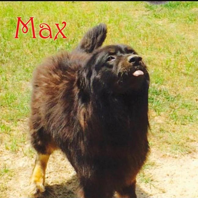 Max- Adoptable dog