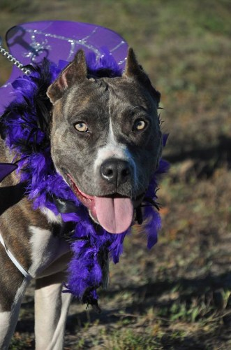 ADOPTED!!! Zena is an approx. 10 month old Pit Bull Terrier mix that weighs approx. XX lbs. She is spayed, UTD on shots and heartworm negative. This sweet girl is potty trained, kennel/crate trained, is great with people, good with kids, good with other dogs, cats unknown. Zena is a super sweet and super friendly baby! She loves cuddles, running around and going on walks (walks well on a leash), and playing!Zena was found as a stray and dropped off at Aiken Co Animal Shelter, where PAWs then rescued her!Zena is currently living with a foster home and looking for her forever home!Zena's adoption fee is $100 and she is available for adoption via Bully4You! - Adopted!!!