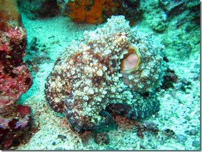 Galapagos Octopus