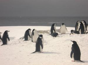 Chinstrap Penguins just chillin'