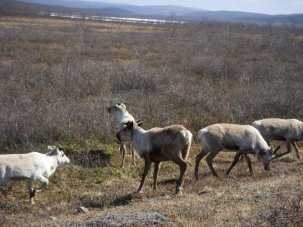 Reindeer in the tundra near Kiruna, Sweden.  PC: Eddie Grove