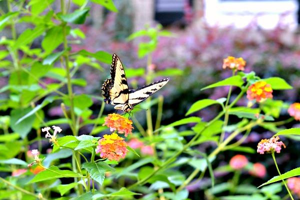8.27butterfly