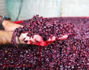 acini d'uva podere concori