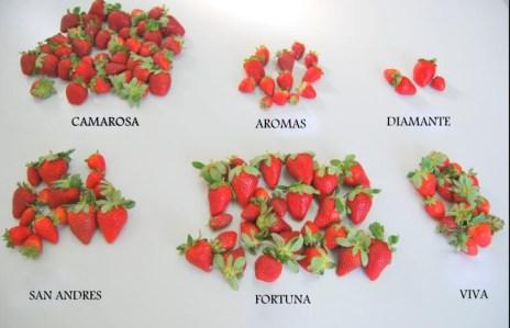 variedad_de_fresas_-_Buscar_con_Google