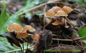 umbrella-fungi-North-America-badgerset-farm