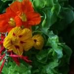 nasturtium and lettuce