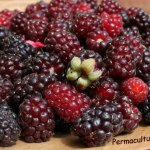 youngberries