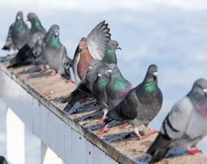 Pigeon Control | Atlanta GA