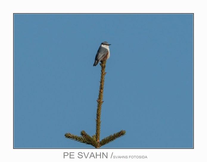 gråsiska-DSC_8774-PE Svahn-25022017