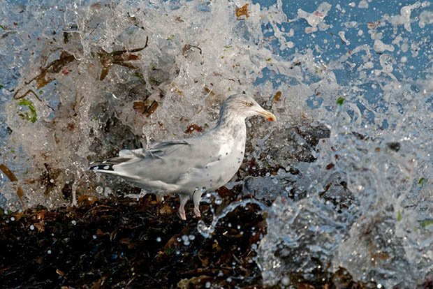 Defiant Herring Gull Photo Wins British Photography Awards 2010 herring