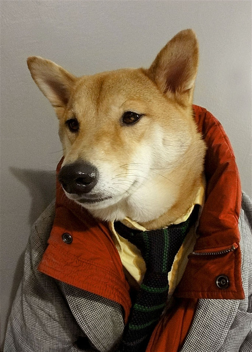 Menswear Dog Features Photos of Mens Fashion, Modeled by a Shiba Inu dogmenswear 13