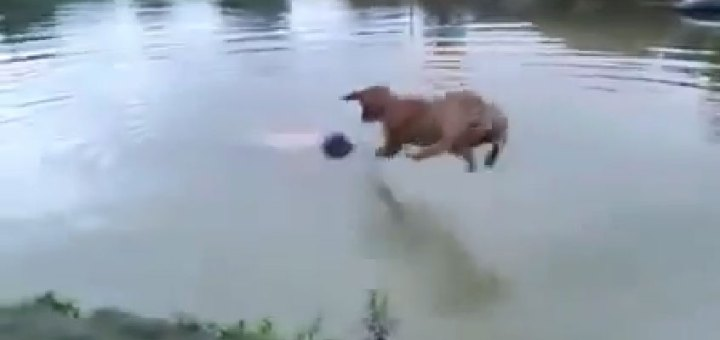 Dog saves man from not drowning.