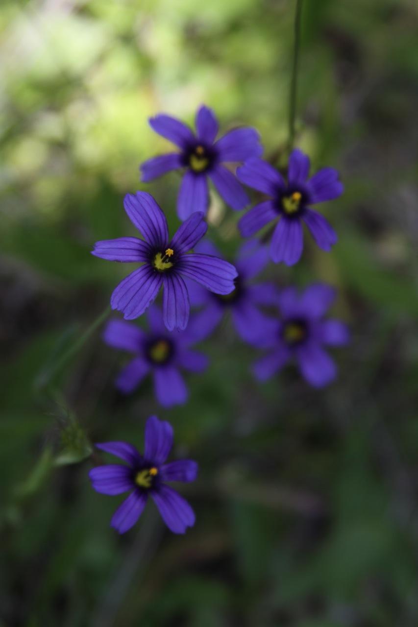 Blue-eyed Grass (Sisyrinchium bellum), 2011