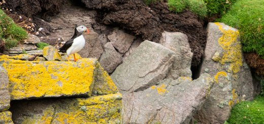 A puffin side on