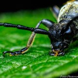 Black-and-yellow Longhorn Beetle x3 mag