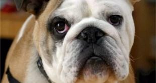 english-bulldog-538485