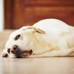 Reverse Zoonosis: Illnesses You Can Pass to Your Dog