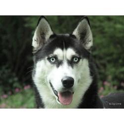 Small Crop Of Siberian Husky Life Span