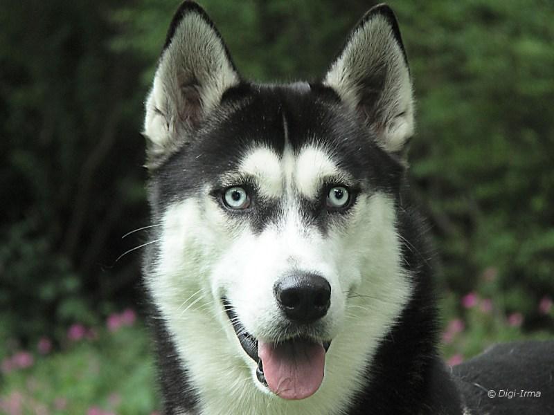 Large Of Siberian Husky Life Span