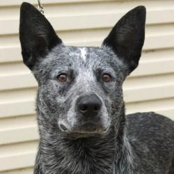 Arresting Facebook Twitter Australian Stumpy Tail Cattle Dog Breed Guide Learn About Short Spine Dog Quasimodo Short Spine Dog Meme