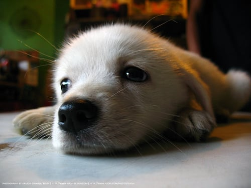 cute_puppy