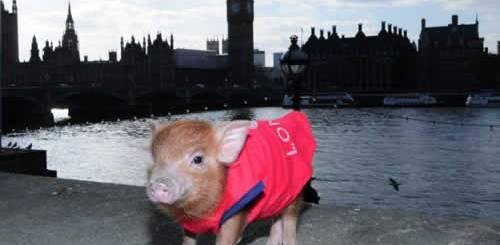 mini-porco-miniatura-big-ben-sucesso-jane