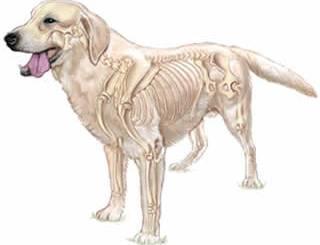 petrede-esqueleto-cachorro