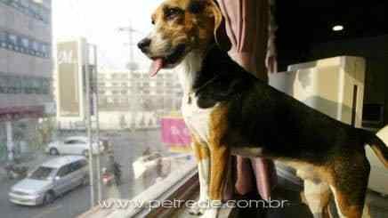 cachorro-janela-apartamento-petrede
