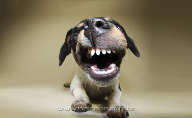 cachorro-mostrando-os-dentes-petrede