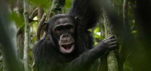 chimpanze-triangulo-goualougo-Latinstock