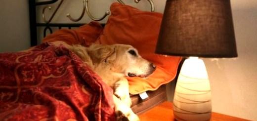cachorro-labrador-hotel-hospedagem-quarto-cama-petrede