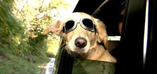 cachorro-labrador-oculos-de-sol-janela-carro