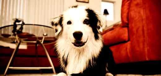 cachorro-sala-apartamento-condominio-petrede