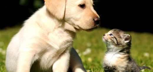 filhote-cachorro-gato-labrador-petrede1