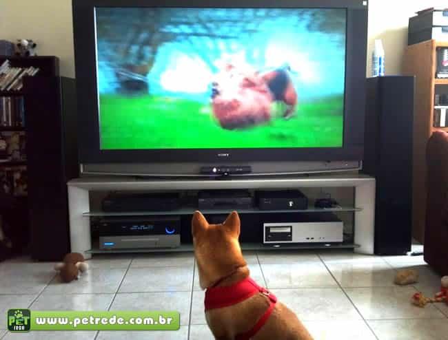 cachorro-assistindo-televisao-tv-programa-canal-petrede