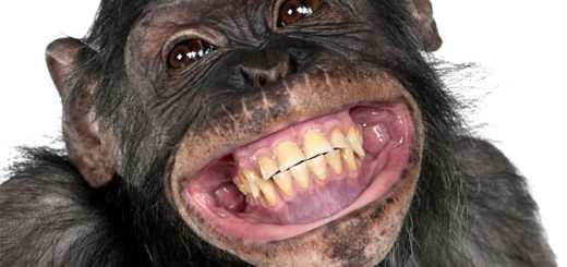 macaco-chimpanze-primata-sorrindo-risada-riso-feliz-petrede