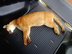 Onça encontrada morta em Araguari / Foto: Divulgação Polícia Militar MG