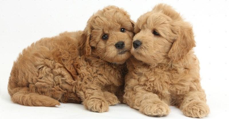 Large Of Teddy Bear Dog Breed