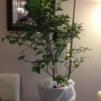 Project Lemon Tree