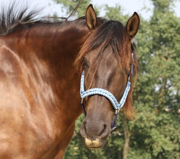 Ein schwarzes Pferd schaut in die Kamera. Es trägt ein schickes Halfter in Blautönen.