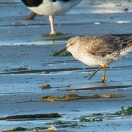 Red Knots Declared Federally Threatened